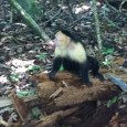 Ok went fully into Manuel Antonio today. Monkeys everywhere. Your browser does not support the video tag